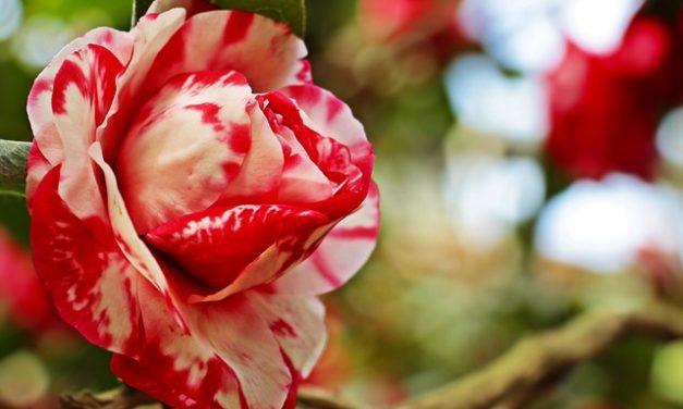 Découvrez les fleurs du Dr Bach
