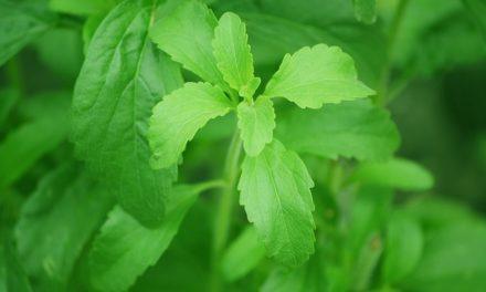 Que se cache-t-il derrière les feuilles de stévia